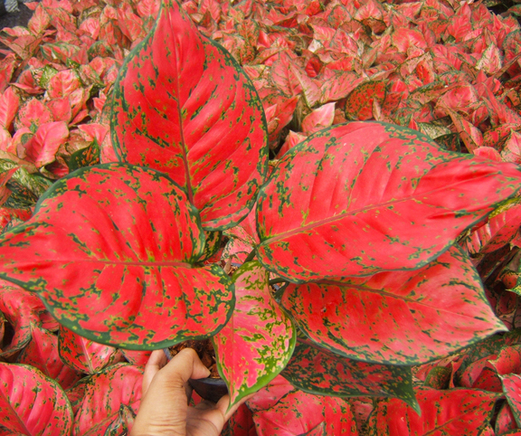 Red Anyamanee <br>(Aglaonema plants)</br>